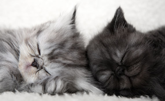 Two cats heads side by side peacefully sleeping at Animal General in Cranberry Township
